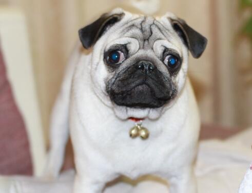 八哥犬洗澡的方法有几种?帮它洗干净的要点是什么?